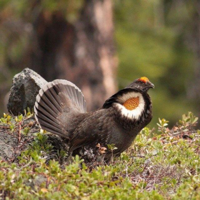 Grouse male sooty-Karatavuk