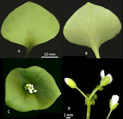 A Forager's Treasury ID gallery: Miner's lettuce (Claytonia perfoliata)