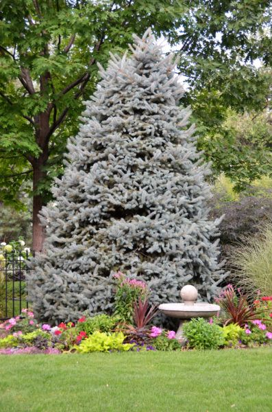 Why Blue Spruce Turns Green: Reasons For Green Needles On A Blue Spruce Tree