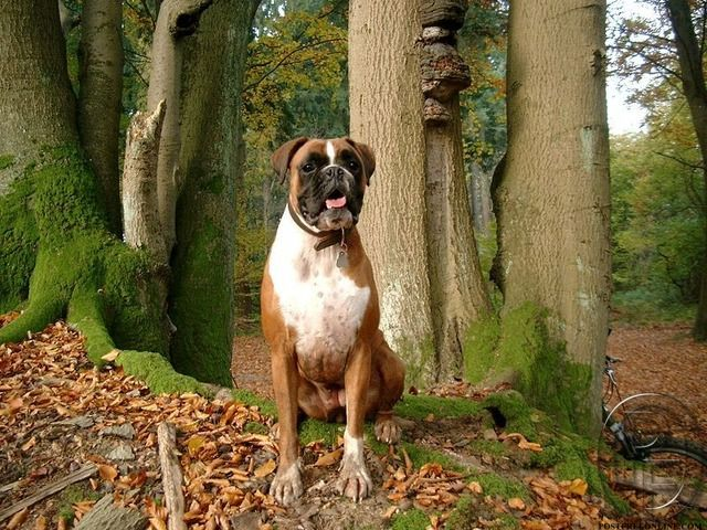 Boxer Puppies For Sale In Mumbai Maharashtra India In Pet Animals And Accessories Category Under Budget 38000 Boxer Dog Pictures Boxer Dogs Boxer Dogs Facts