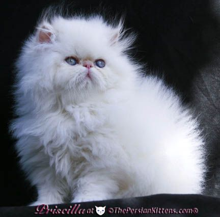 Himalayan Persian Cats | PICTURES of PERSIAN KITTEN PRISCILLA at The Persian Kittens.com®