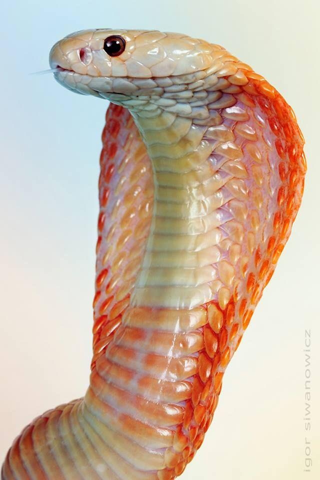 Cobra by Igor Siwanowicz