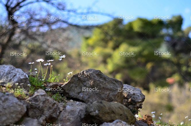 white chamomile and rocks stock photo 62080204 - iStock