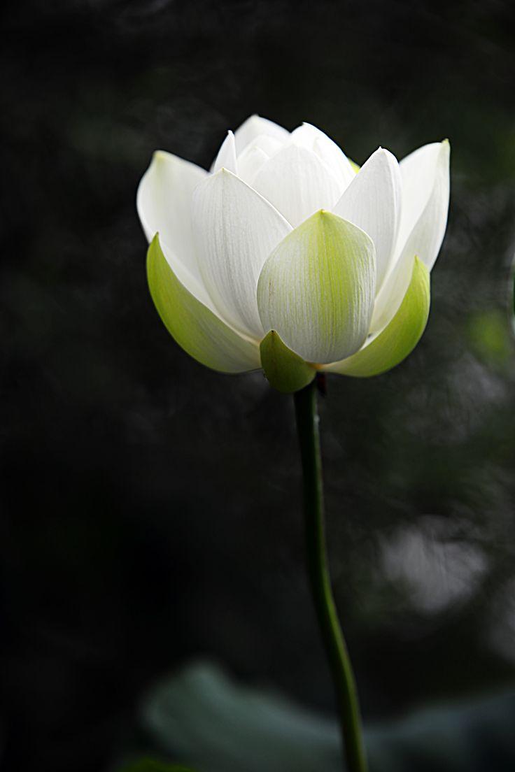 Lotusblomma vit