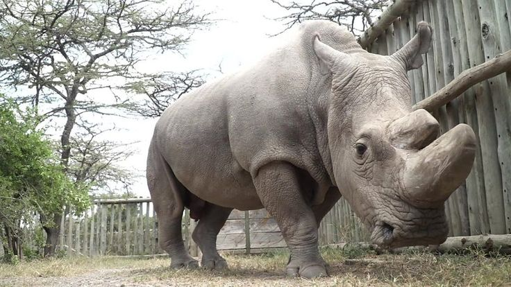Last male northern white rhino joins Tinder to raise money - BBC News http://www.bbc.co.uk/news/world-africa-39713327