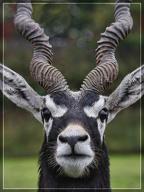 Blackbuck.  West Midlands Safari Park 178 - Oct 2010 by Captain Tweaky, via Flickr