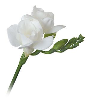 Peonies and Ranunculus Bouquetswhite and green | San Diego Wholesale Flowers Florist & Bouquets - White Freesia