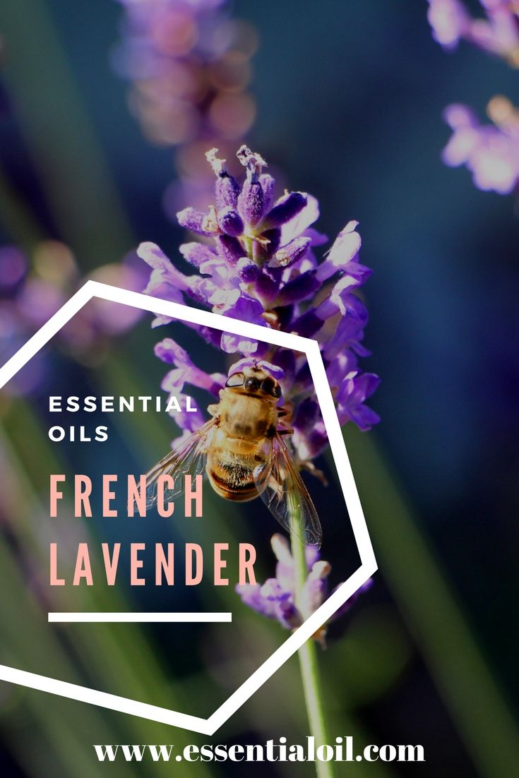 French Lavender Oil, French Lavender 40/42%, Essential Oils, The Essential Oil Company, Aromatherapy, Top Essential Oils, Therapeutic, Aromatic, Perfume Oil, Fragrance, Specialty Oils, Quality Pure Essential Oil, Wholesale Essential Oils, Essential Oil Sets