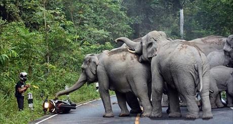 Du khách tại Thái Lan van xin voi rừng tha thứ.