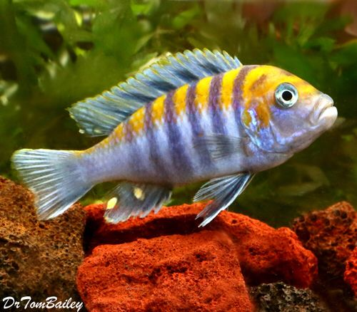 Clown Afra Cobue Cichlid, Featured item. #clown #afra #cobue #cichlid #fish…