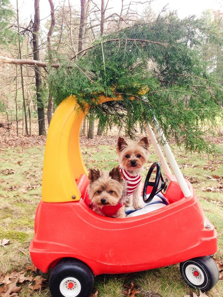 These two found the perfect tree!  A Very Yorkie Christmas - The Lilypad Cottage