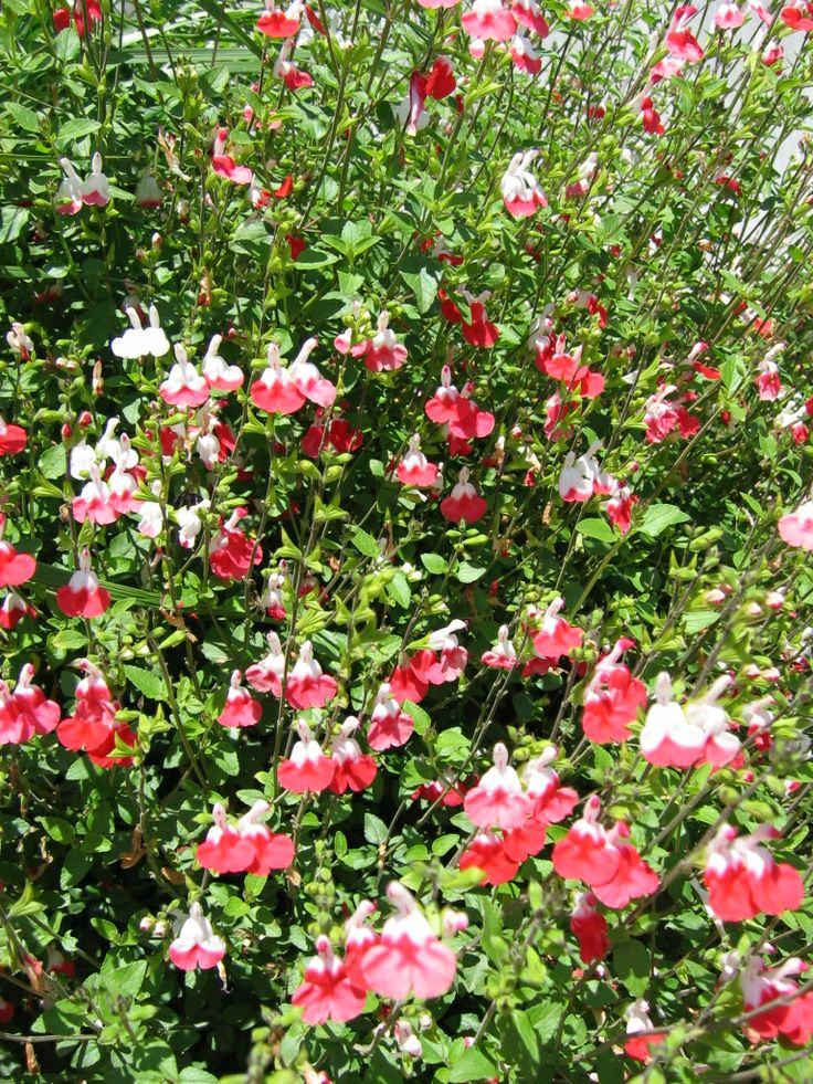 Perennial salvia hotlips had this one time very pretty for Hardy flowering trees