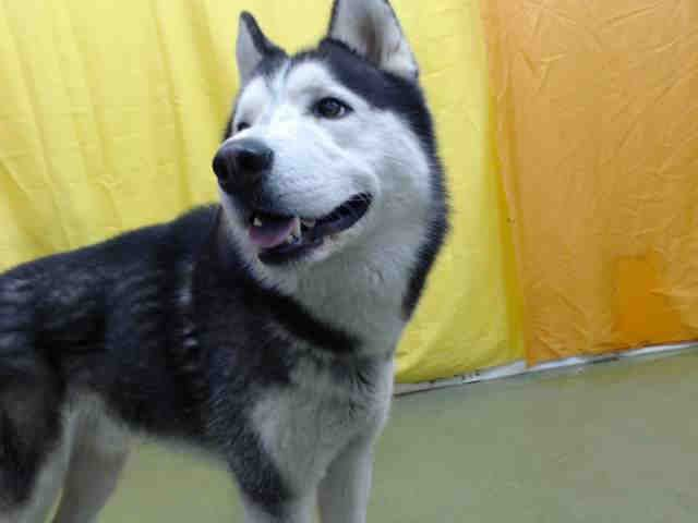 Www Petharbor Com Pet Sbco1 A707847 Animals In Need Husky
