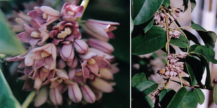 holboellia coriacea - Google keresés