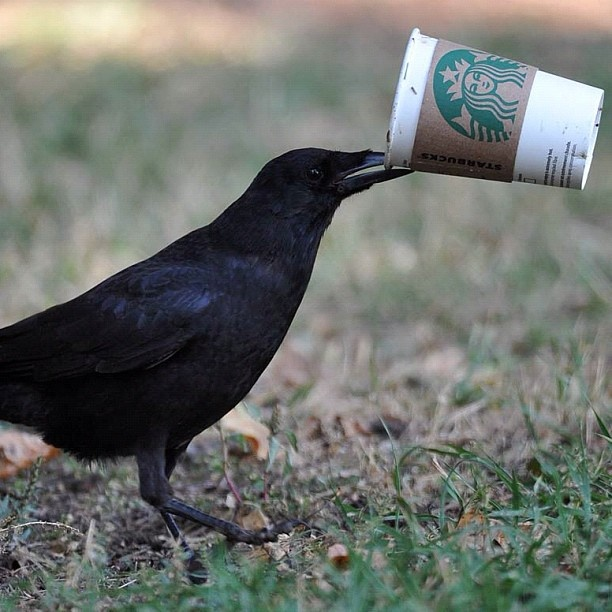 A crow, perhaps needing his morning caffeine fix, tries to get into a discarded coffee cup in Hawrelak Park in Edmonton, Alberta on Monday Sept. 24, 2012. Photo by John Lucas/Edmonton