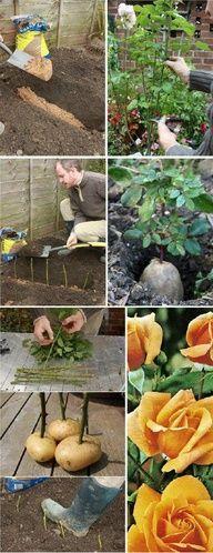 Des roses dans des pommes de terre