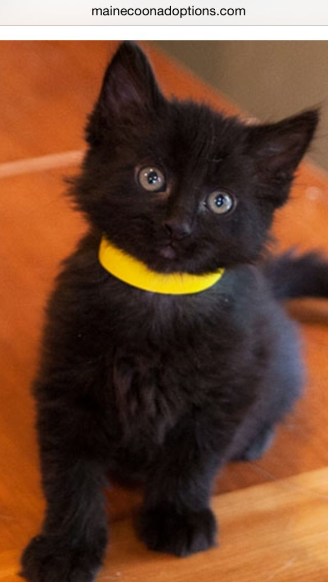 Best Cats Beautiful In Black Images On Pinterest Black - Adorable photos of black shelter cats help them find their forever homes