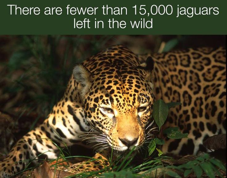 Right now, illegal logging in the Amazon is destroying jaguar habitat at a rapid rate. The species could be listed as endangered soon if nothing changes. https://secure3.convio.net/gpeace/site/Advocacy?cmd=display&page=UserAction&id=1617