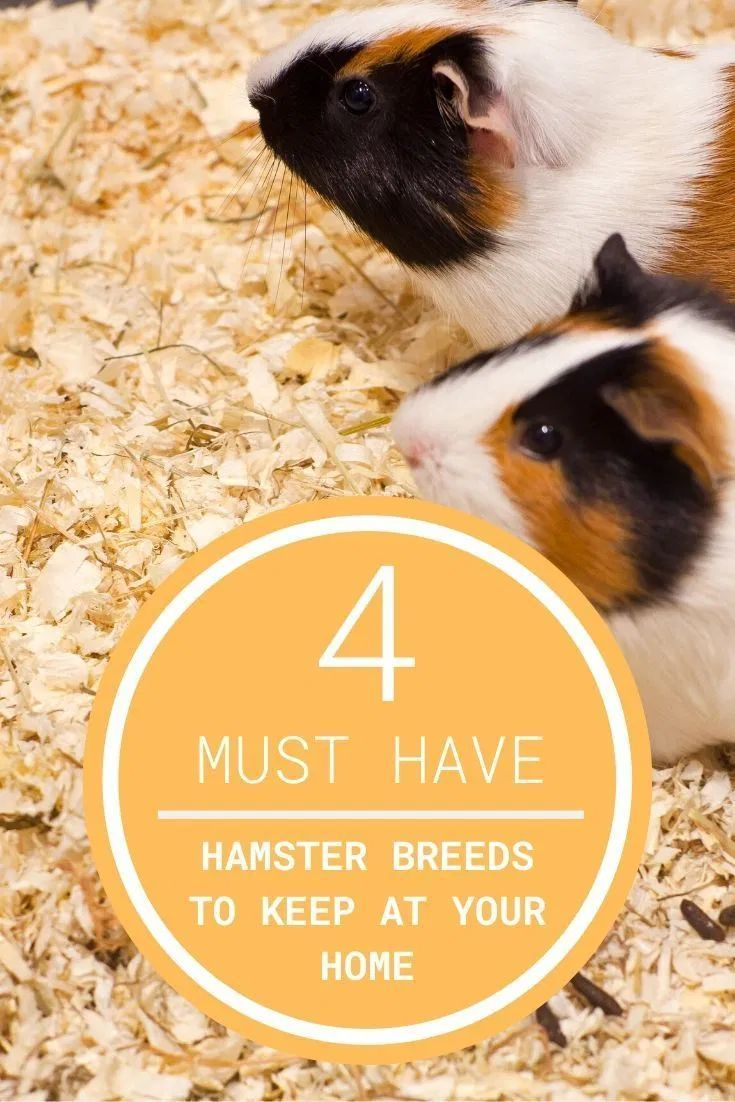 Which Hamster Breeds Are Perfect For You To Keep At Home In 2020 Hamster Breeds Hamster Small Pets For Kids