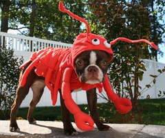 Dog Lobster!Halloweencostumes, Halloween Costumes Ideas, Dresses Up, Dogs Costumes, Dogs Halloween Costumes, Boston Terriers, Funny Dogs Pictures, Dogs Funny, Animal Photos