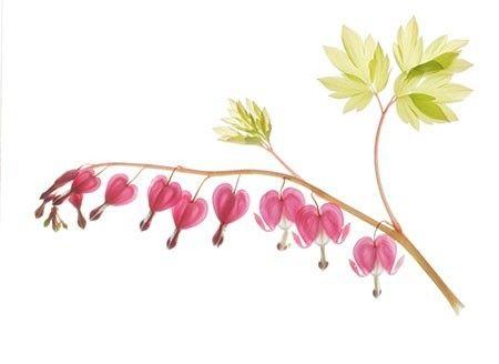 Botanical Art Print, Bleeding Heart, Scanned Flower