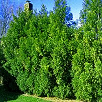 Eastern Red Cedar Trees | Buy Online at Nature Hills Nursery