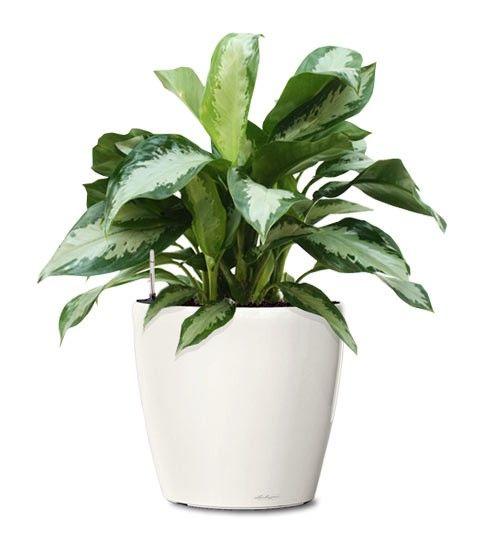 Small Ornamental Plant - Diamond Bay Evergreen Ornamental Plant - Aglaonema Diamond Bay (Web) Buy Indoor Plants - Fruit Plants Online RealOrnamentals.com or RealPalmTrees.com #IndoorPalms #DIY2015 #PalmTrees #BuyPalmTrees #2015PlantIdeas #Summer2015Plants