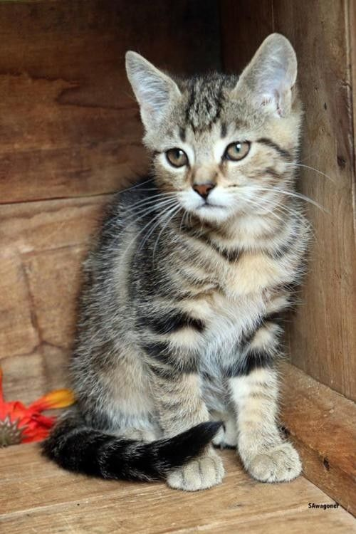 Adopt Baby - At Petco a Brown Tabby Domestic Shorthair / Mixed (short coat) cat | Brown Male Tabby Kitten For Sale in Front Royal VA | 4008169326 | Cats on Oodle Marketplace