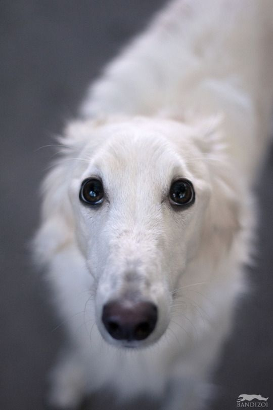 Borzoi And Silken Windhound