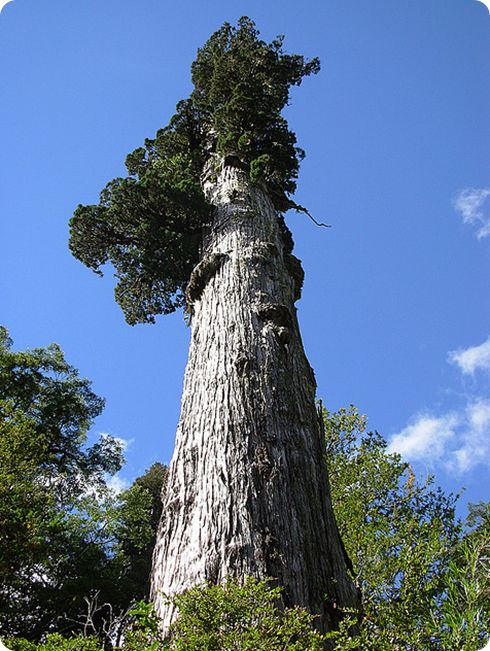 Alerce En el sur de Argentina y Chile se pueden ver unos hermosos árboles llamados Alerces. Son delgados, pero muy altos, y también muy longevos. Un árbol de varios cientos de años puede ser abarcado con ambas manos. Crecen muy lento, apenas milímetros al año, y puede llevarle mil años llegar a su tamaño completo. En Argentina, en el Parque Nacional Los Alerces, hay muchos ejemplares de más de mil años, y uno al que llaman el Abuelo, tiene 2500 años.