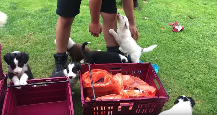 Watch this adorable video of puppies 'attacking' a Sainsbury's delivery driver