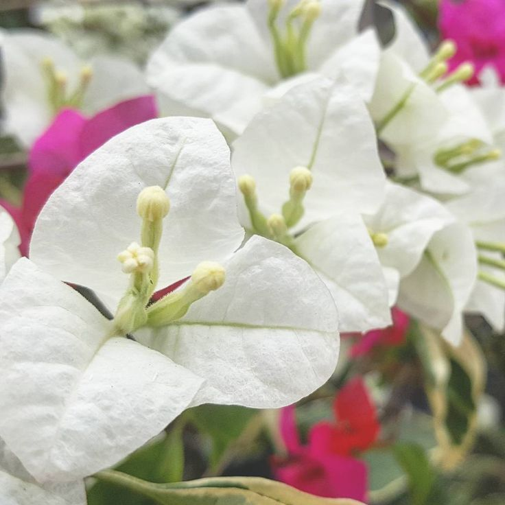 White Bougainvillea  Bougainvillea is a genus of thorny ornamental vines, bushes, and trees with flower-like spring leaves near its flowers.  taken with my Samsung Galaxy Note 5 #white #bougainvillea #flower #red #magenta #pink #green  #Nyctaginaceae #ornamental #flowers #blossom #plant #plants #tanaman #bunga #kertas #putih #merah #merahmuda #mekar #bloom #簕杜鵑 #ブーゲンビリア #เฟื่องฟ้า #Бугенвиллея #Bougenville