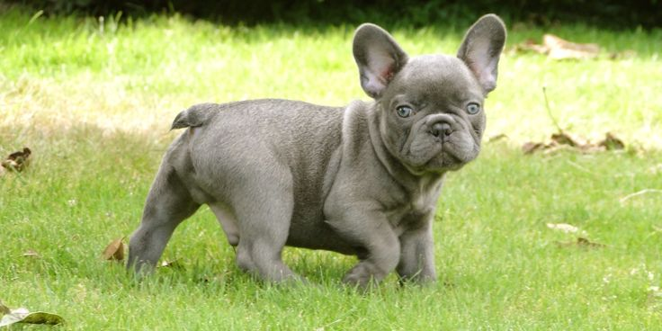 Blue Frenchie I M In Love Frenchie Love Miniature