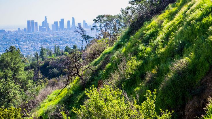 Hollywood Mountain in Griffith Park nd La Skyline - From our 2-day tour in Los Angeles https://friendlylocalguides.com/los-angeles/tours/2-days-in-los-angeles #mountain #hollywood #climbing #blue #park #green #griffith #morning #clear #sky #beautiful #scenic #hiking #hike #hikes #spring #california #losangeles #la #visit #usa #city #калифорния #лосанджелес #friendlylocalguides
