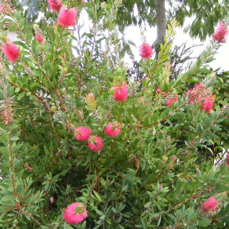 1000 id es sur le th me arbuste persistant sur pinterest arbustes haies et citronnier 4 saisons - Arbuste d ornement feuillage persistant ...