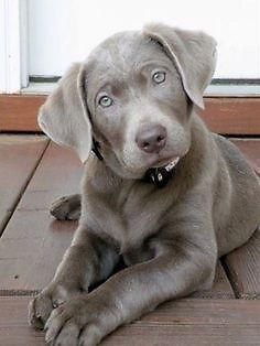 AKC Silver Lab Puppies - 8 wks