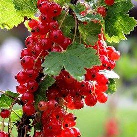 Röda vinbär | Blomsterlandet.se