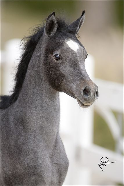 Arabian Foal - Is he a Grey? Is that weird dark spot on the side of his face a Bloody Shoulder Mark?