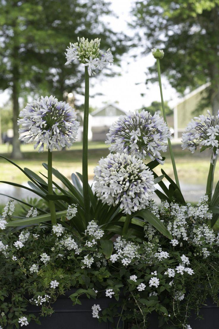 Queen Mum Agapanthus, White Lantana, Trailing Rosemary. Carmen Johnston Gardens
