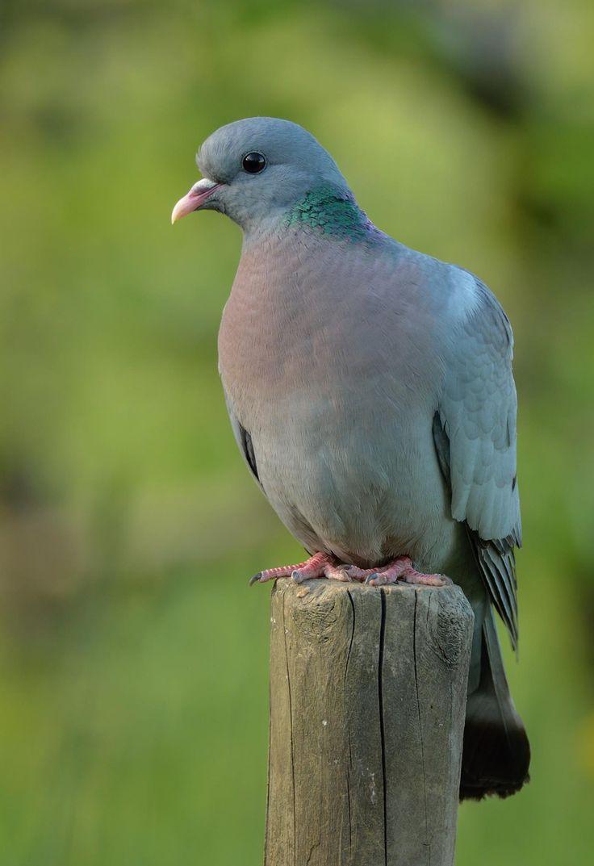Stock dove (Columba oenas), holenduif