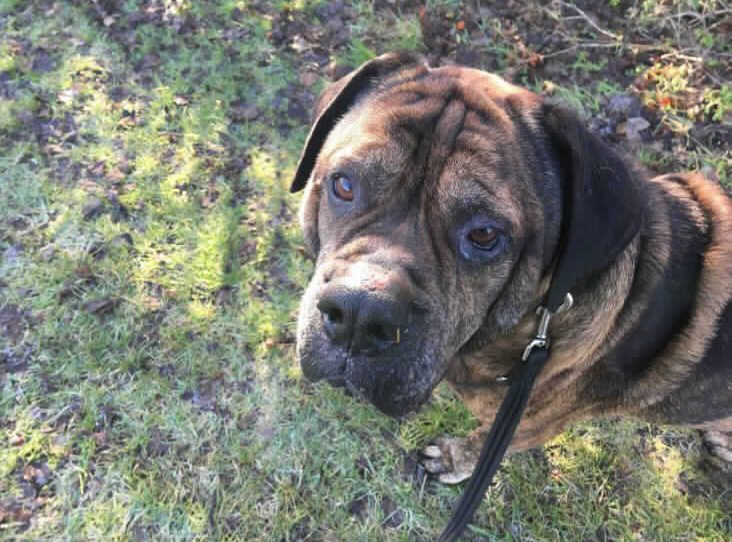 This is the gorgeous Billy! He is a gentle giant who loves to be around you! Poor Billy was brought into us as sadly he was abandoned and very under weight...