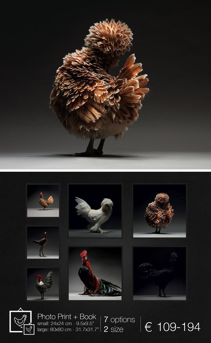 The Most Stunning High Quality Chicken Photos Ever Taken By