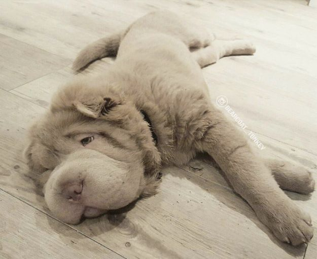 This Ridiculously Cute Puppy Looks Like A Dog/Teddy Bear Hybrid