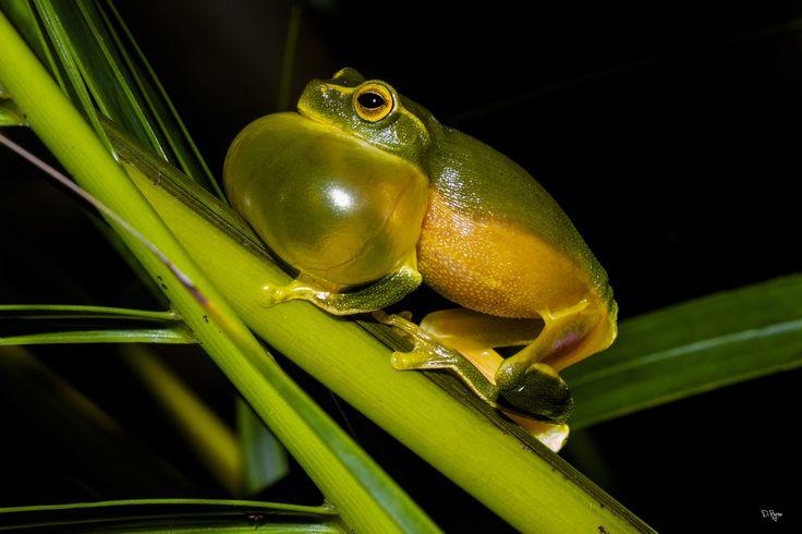 Dainty Tree Frog by derek byrne on 500px