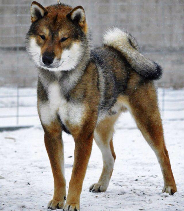 Japanese Dog Breeds Shikoku
