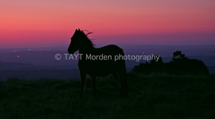 John S W Taylor  DART MOOR PONY  Mounted Limited Edition   signed Photographic Print: 2/10  Image captured near Sharpitor,   Devon in September 2009.  Print: 36 cm wide x 20 cm high  Mount: 48 cm wide x 32 cm high  Neutral double mount   cellophane-wrapped  Authentic photograph printed on   silver-based light sensitive paper.  £40