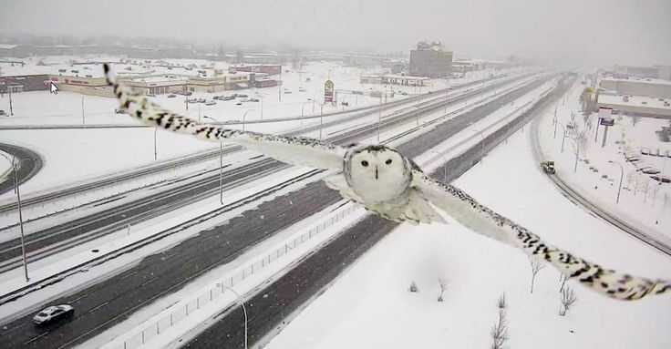 Un impressionnant harfang des neiges capté par une caméra de surveillance de Montréal (PHOTOS)