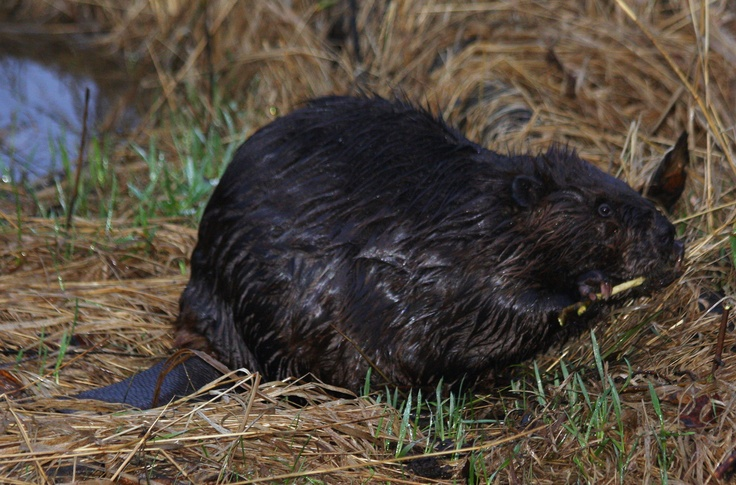 saw this Beaver out on Mission Island enjoying the high water levels - 20 may 2013
