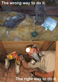 The wrong way vs. the right way to remove rats from your house or building. #rodents