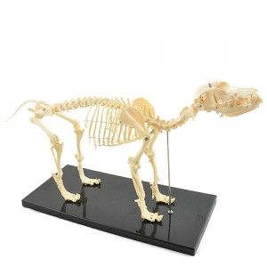 Budget Canine Skeleton Model (Medium)